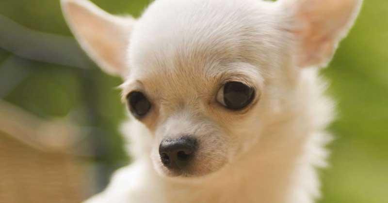 white-chihuahua-pic