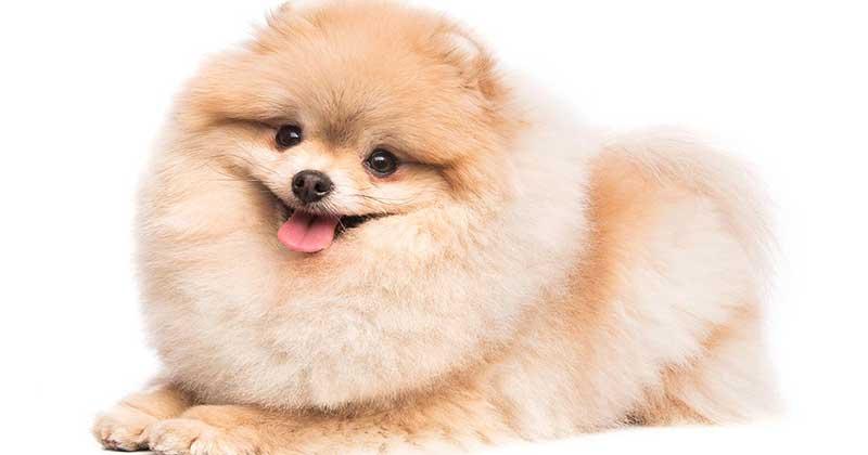 Pomeranian--