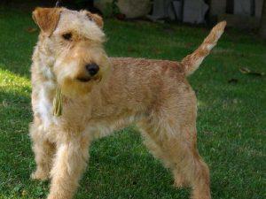 saredon-terriers-hitory