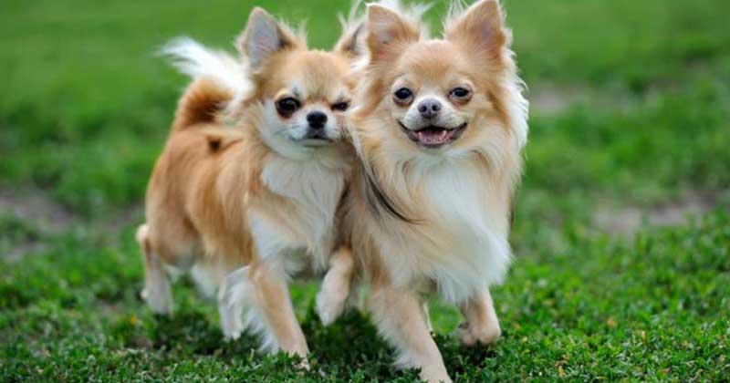 Chihuahua-pic