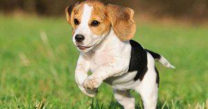 beagle-photo